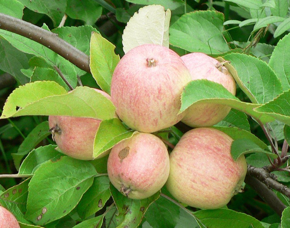признавалась звезда, старые сорта яблонь фото с названием рапунцель являются главными