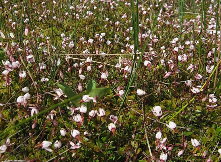 цветы клюквы