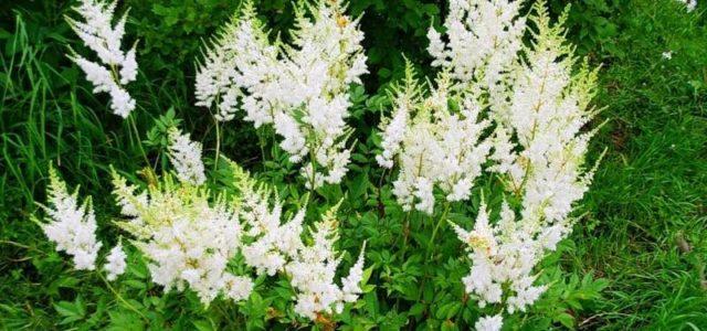 4 растения, заменяющие аспирин