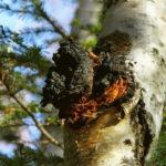 <b>Чем полезна чага (березовый гриб) и как применять</b>