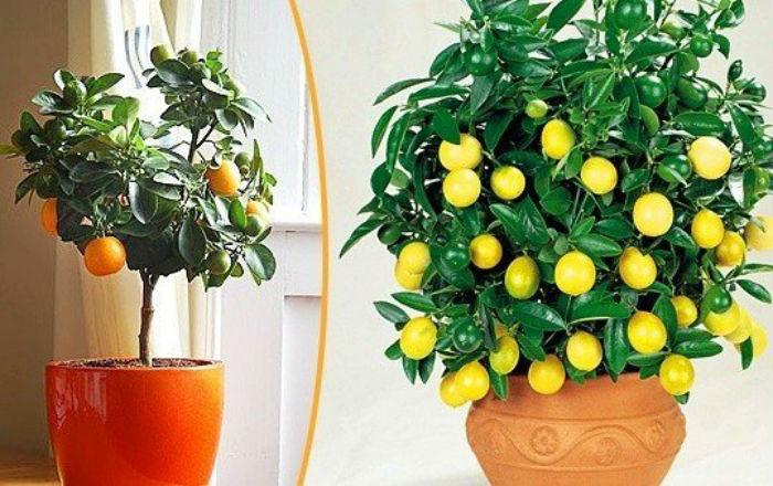 Какие растения можно вырастить из косточки? Вместо того чтобы выбрасывать косточки от съеденных нами фруктов, давайте станем садовниками и вырастим собственную плантацию экзотических деревьев.
