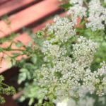 <b>Болиголов - растение способное победить рак (описание, применение)</b>