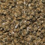 <b>Пчелиный подмор - болезням отпор</b>
