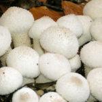 <b>Полезен ли гриб дождевик (дедов табак)?</b>
