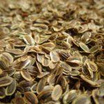 <b>Для чего применяют и что лечат семенами укропа?</b>