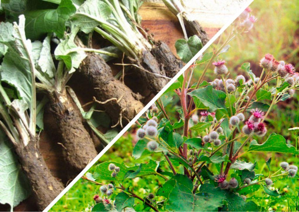 Корень лопуха: состав и способы использования, польза и вред растения, варианты приготовления и медицинское применение