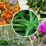 <b>Какие растения помогут при запорах?</b>