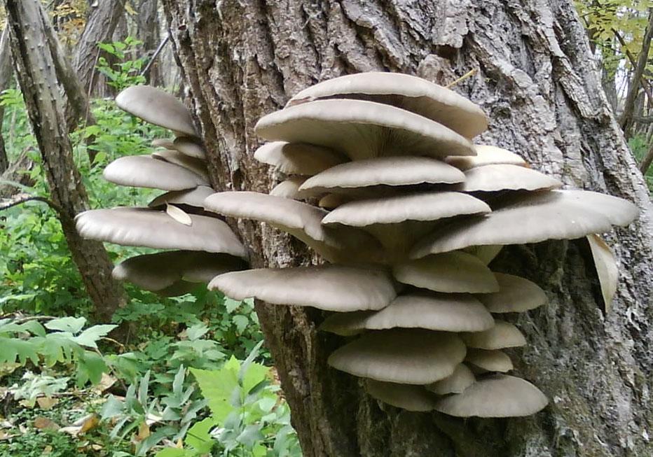 Чем полезны грибы вешенки для человека