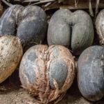 <b>Что такое сейшельский орех и чем полезен?</b>