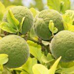 <b>Померанец – что за фрукт и чем полезен?</b>