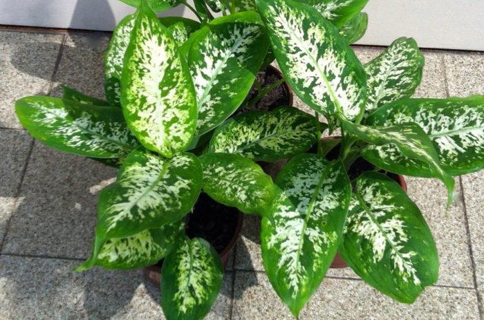 7 самых опасных комнатных растений