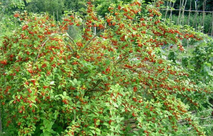 Гуми – ягоды долголетия