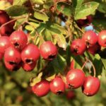 <b>Боярка ягода - о пользе боярышника</b>