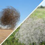 <b>Чем полезна гипсофила или перекати-поле</b>