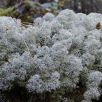 <b>Чем полезен исландский мох и что он лечит?</b>