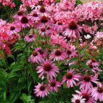 <b>От всех болезней панацея - чудо цветок эхинацея</b>