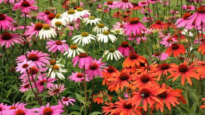 От всех болезней панацея - чудо цветок эхинацея