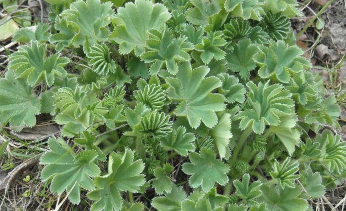 От чего помогает трава манжетка?