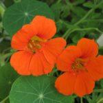 <b>Чудо-цветок настурция - целебная и съедобная</b>