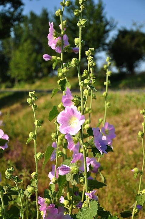 Мальва (шток роза) - цветок целитель