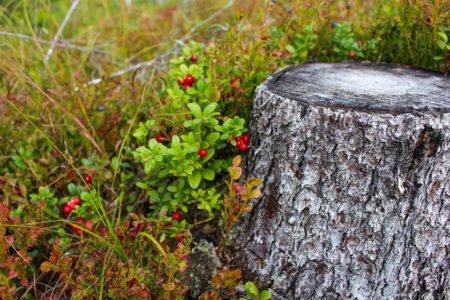 Целебная ягода молодости и бессмертия. Что лечит брусника?