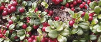 брусника ягоды