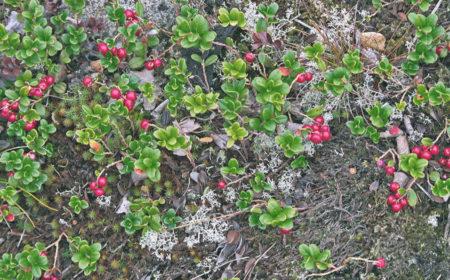 брусника фото растения