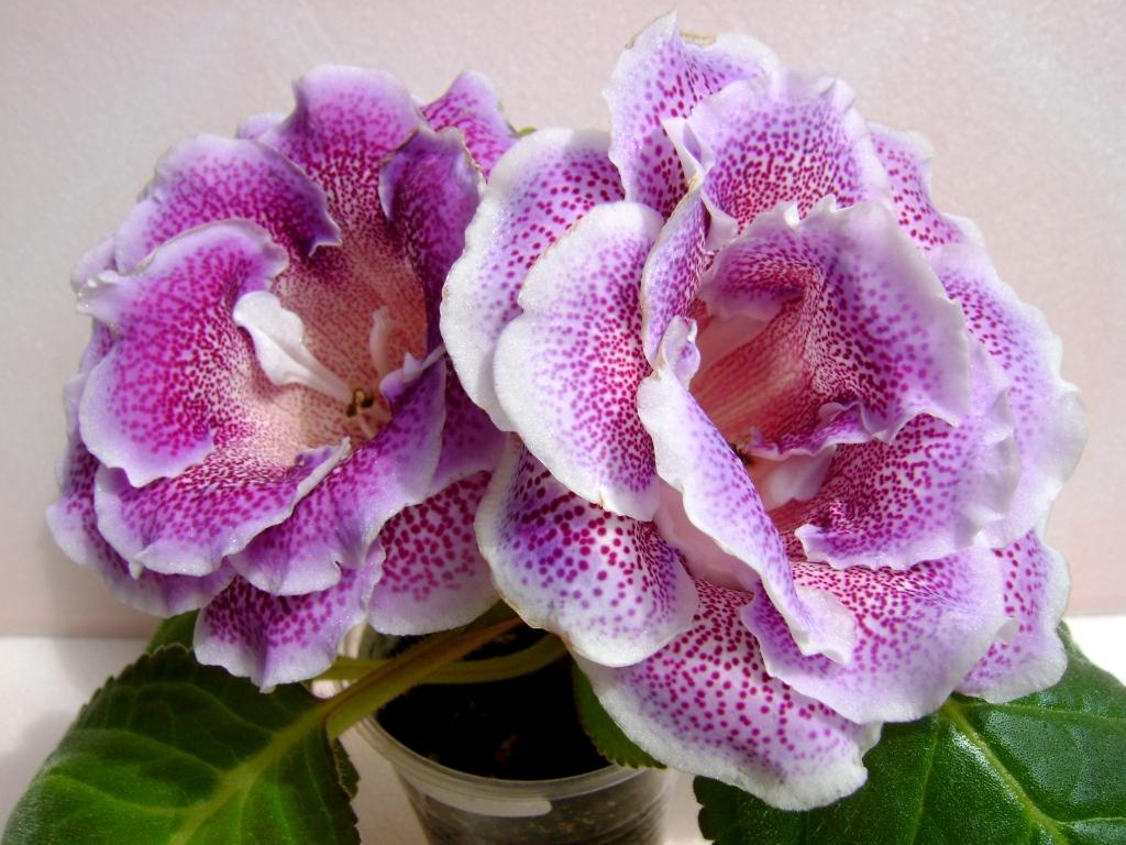 глоксиния фото цветов