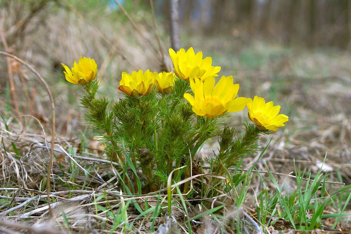 Чем полезен адонис весенний (горицвет), применение и рецепты