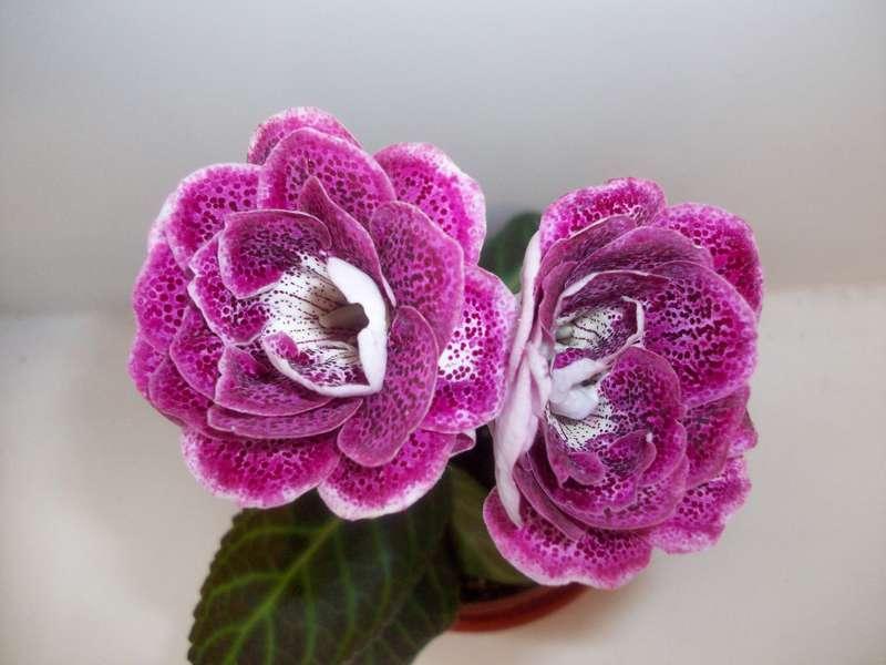 фото цветов глоксинии
