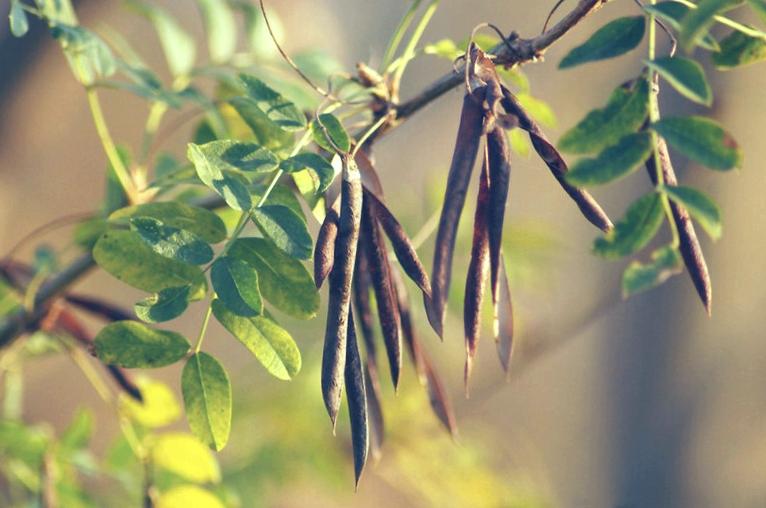 семена акации мимозы