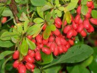 фото плодов барбариса амурского