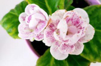цветы глокциния