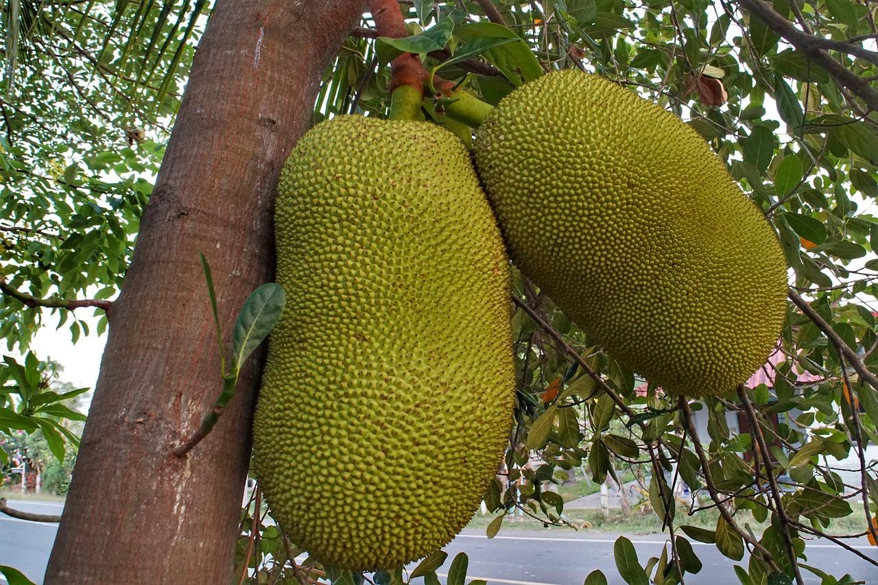Плоды джекфрута висят на дереве