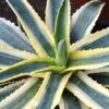 агава комнатное растение
