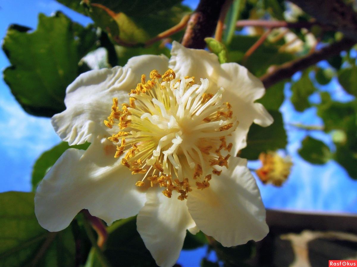 цветы растения киви