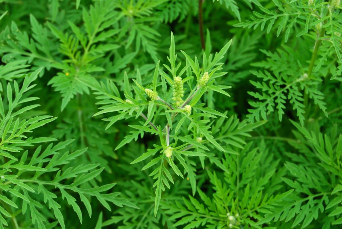 амброзия фото растения крупным планом