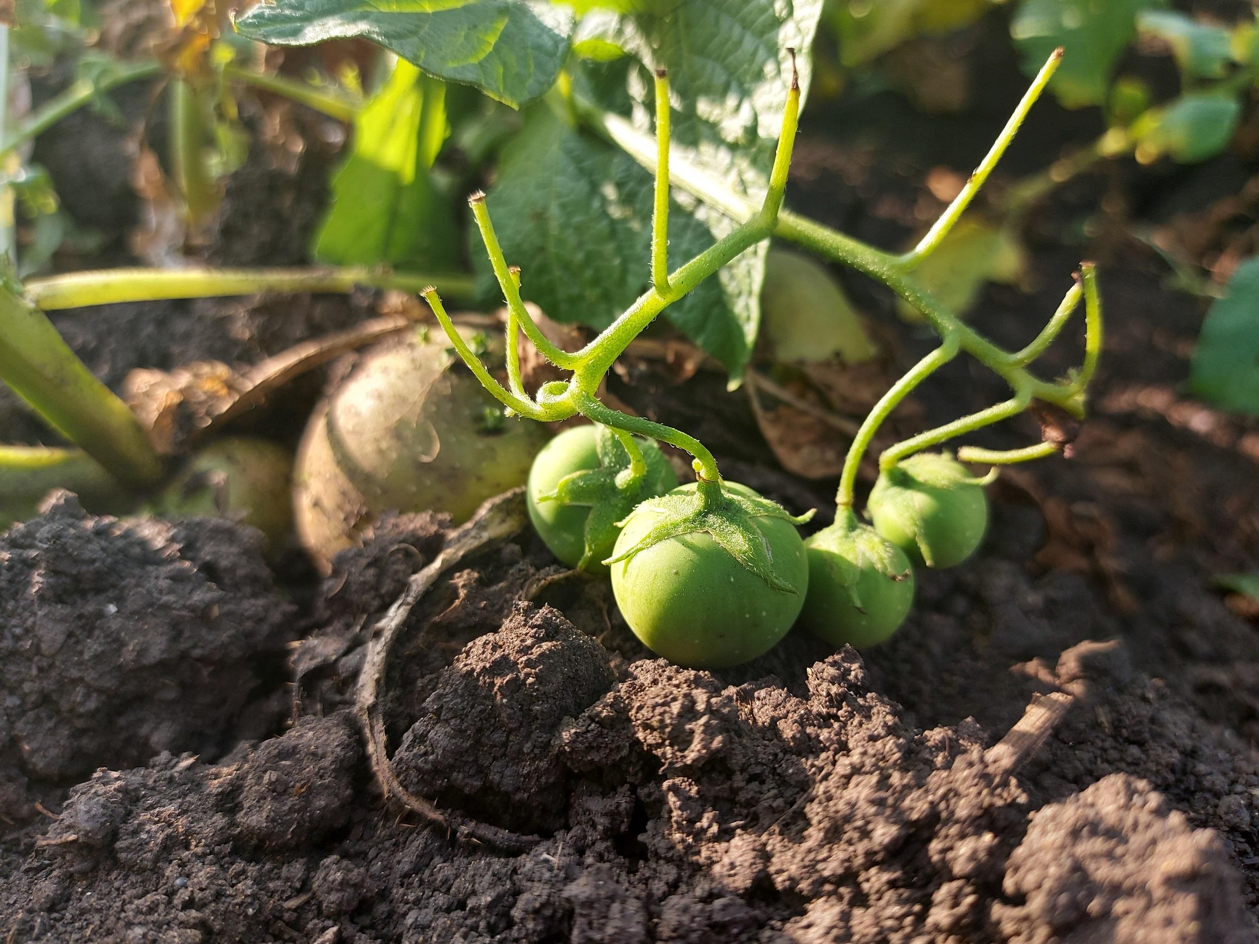 Почему на картофельных кустах вырастают ягоды, в каких целях можно их использовать?