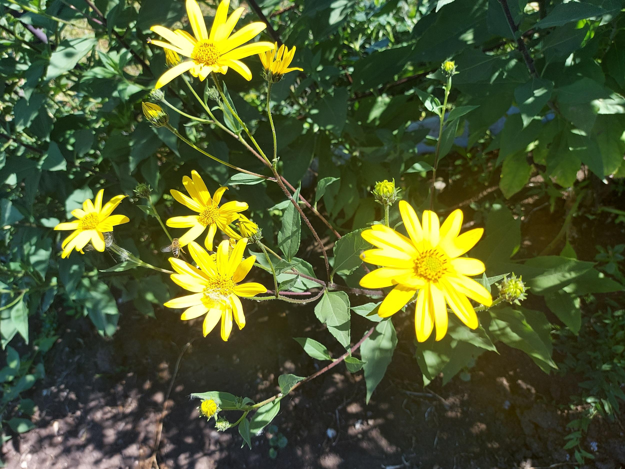 фото цветов топинамбура