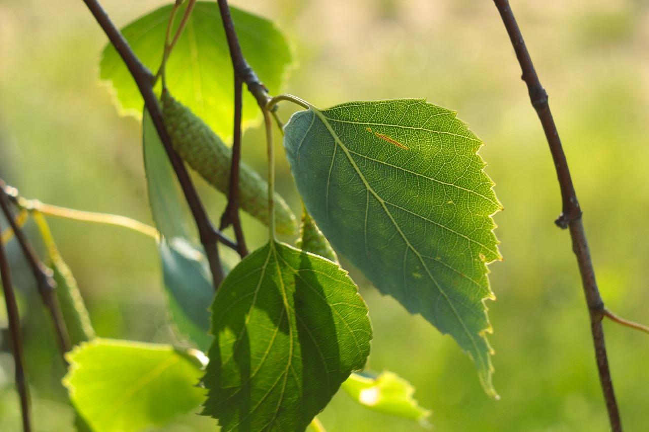 Листья березы. Пейте в холодное время года и никакая хворь вас не одолеет