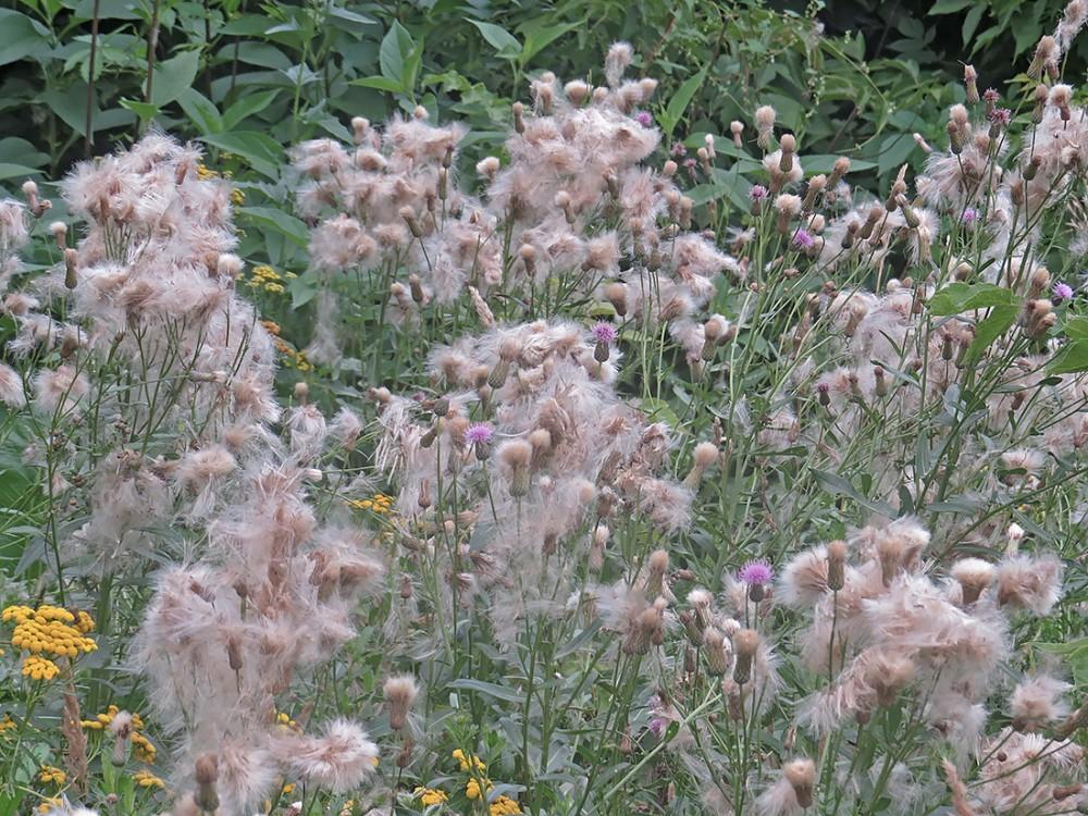 Фото растения осот розовый, бодяк
