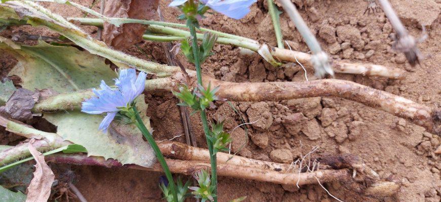 корень цикория фото