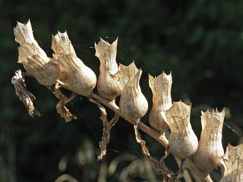 семена белены