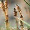 пестики хвощ полевой