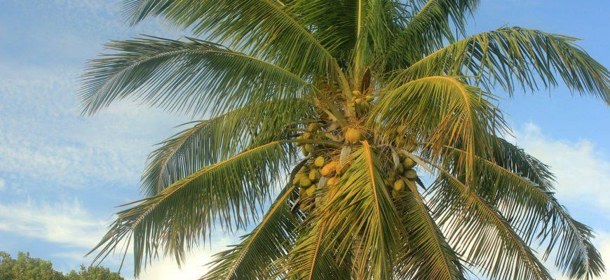 кокосовая пальма описание