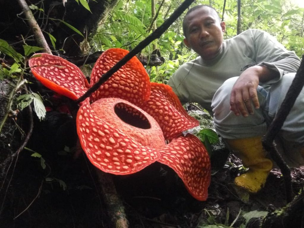 Раффлезия Арнольди. Как растет самый крупный цветок планеты