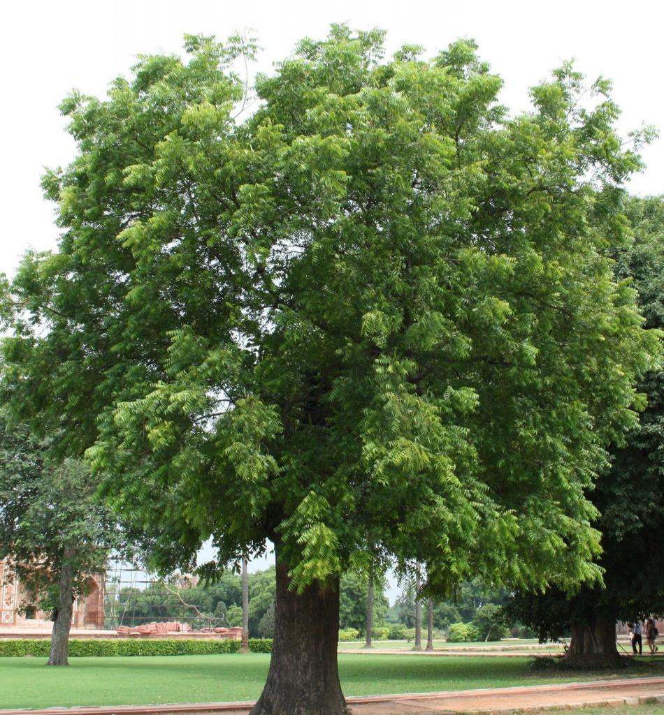 """Дерево Ним - """"волшебное"""" дерево индусов"""