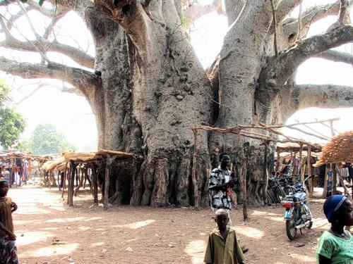 Баобаб - дерево жизни африканцев