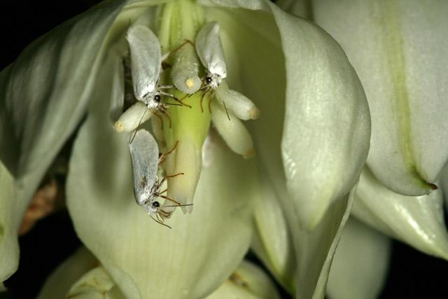 Юкковая моль — единственное в мире существо, способное опылить юкку