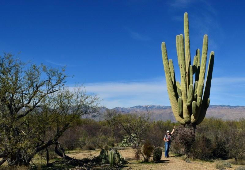 Гигантские кактусы сагуаро высотой как многоэтажный дом